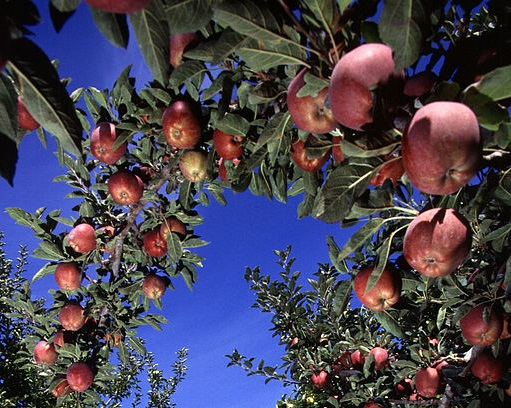 Apple Orchard By Scott Bauer, USDA ARS Public domain, via Wikimedia Commons